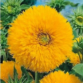 Foto Produk Biji Benih Bunga Matahari Sunflower Teddy Bear dari Biji Benih