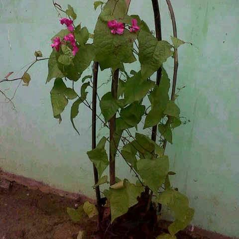 Foto Produk Tanaman Air Mata Pengantin / Antigonon dari Grosir tanaman hias
