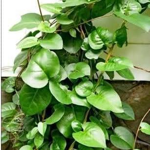 Foto Produk Daun binahong segar 1kg (obat herbal) dari Floracipta