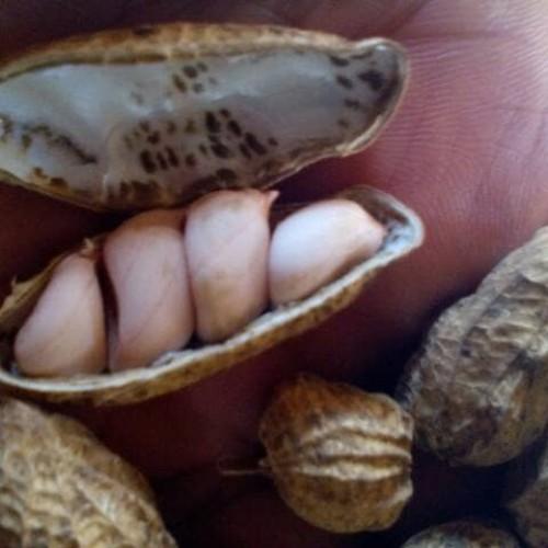 Foto Produk Benih Kacang Tanah Garuda Berkuwalitas dari Sumber Makmur (SM)