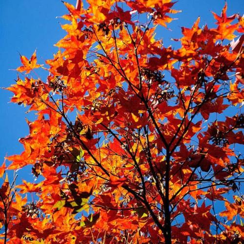 Foto Produk Benih Biji Bibit Oliver's Maple (Acer oliverianum) dari Biji Benih