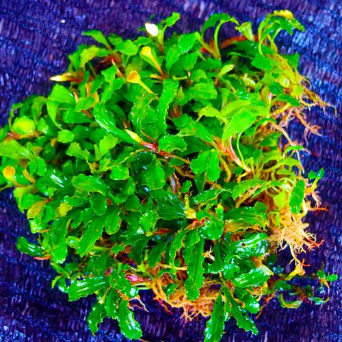 Foto Produk Bucephalandra Tanaman Air Aquascape dari BlueGreenFarm