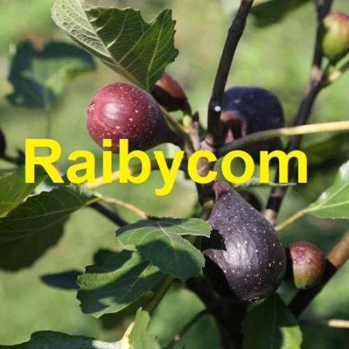Foto Produk Bibit Stek Batang Buah Ara Tin Violette de Bordeaux France Cutting Fig dari Raibycom