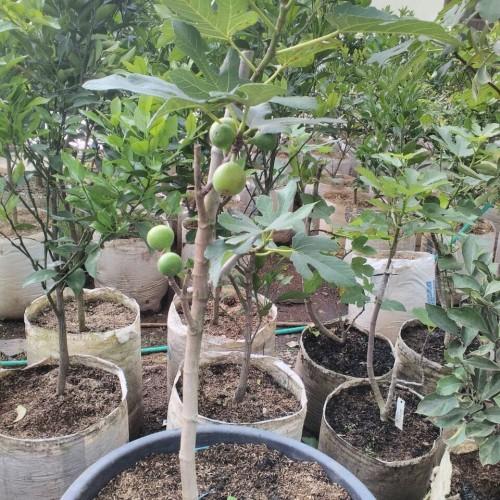 Foto Produk Jual bibit buah Tin dan aneka bibit buah lainnya dari Made in bdg