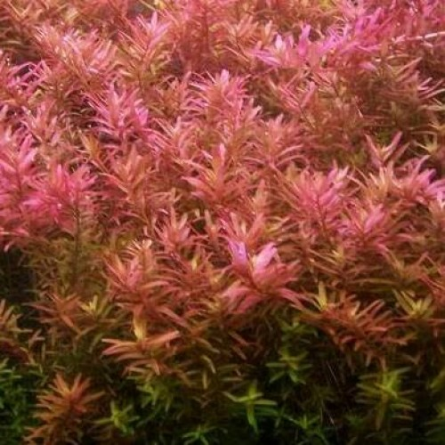 Foto Produk tanaman aquascape rotala rotundifolia dari kct farm