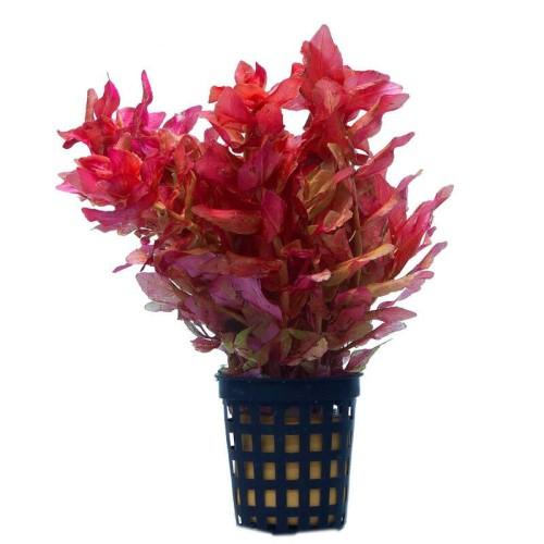 Foto Produk tanaman Aquascape rotala macrandra dari gello shrimp