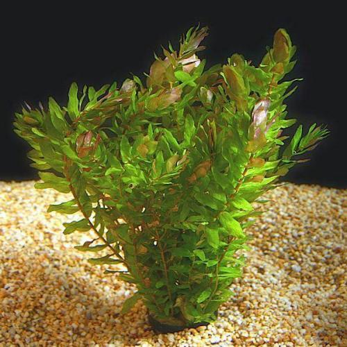 Foto Produk tanaman Aquascape rotala macrandra mini type 3 dari gello shrimp