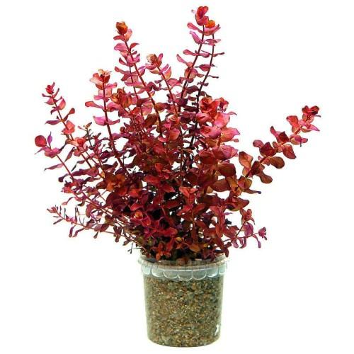 Foto Produk tanaman Aquascape rotala macrandra mini type 4 dari gello shrimp
