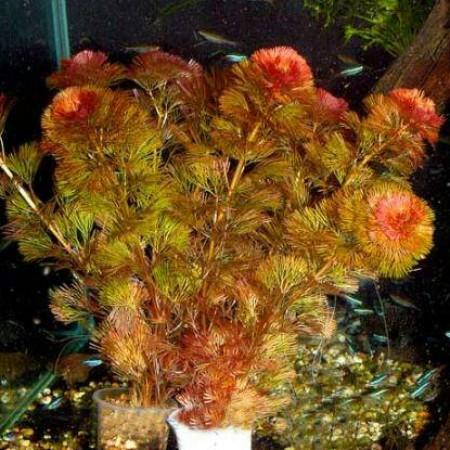 Foto Produk tanaman Aquascape red cabomba dari gello shrimp