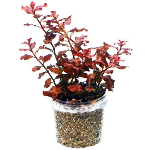 Foto Produk tanaman aquascape ludwigia sp red dari gello shrimp