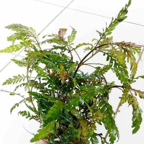 Foto Produk tanaman Aquascape hygrophila pinnatifida dari gello shrimp
