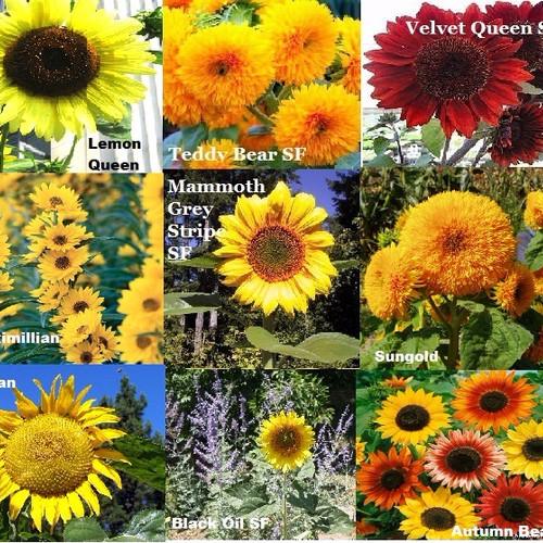 Foto Produk Paket Hemat Benih/Bibit/Seed Matahari isi 9 Jenis Sunflower Seed dari sahabat tanindo