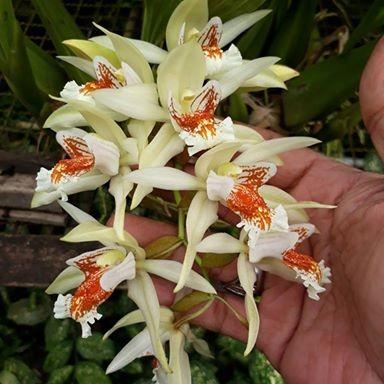 Foto Produk Coelogyne asperata *edisi promosi* dari Sandi Orchid Garden
