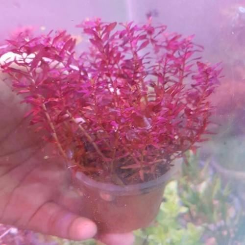 Foto Produk tanaman aquascape rotala macrandra type 3 mini butterfly dari kct farm