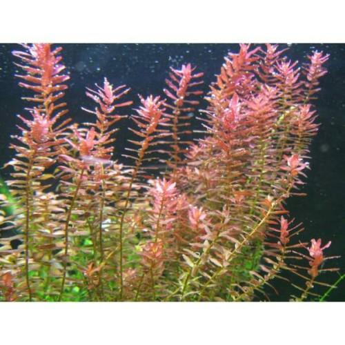 Foto Produk tanaman Aquascape rotala ceylon ( sp pink ) dari gello shrimp