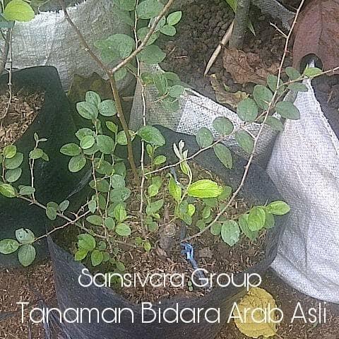 Foto Produk Tanaman Pohon Bidara Arab Herbal dari Grosir tanaman hias