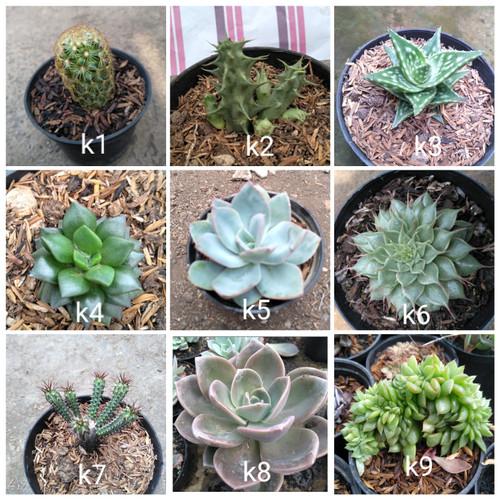 Foto Produk tanaman hias kaktus dari cactussucculent