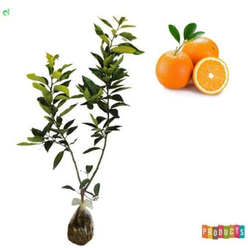 Foto Produk Bibit tanaman jeruk Sunkist Tinggi 70 cm up dari ibad garden