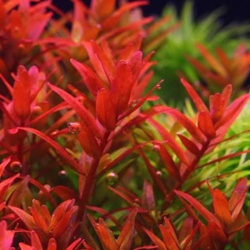 Foto Produk tanaman aquascape rotala blood red dari kct farm
