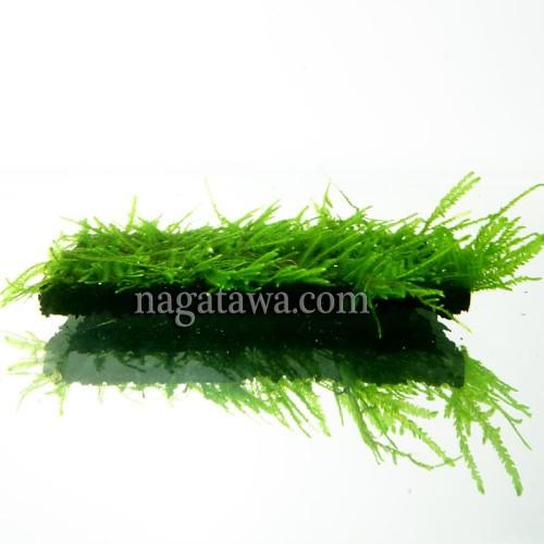 """Foto Produk Tanaman Aquascape """" Moss Peacock """" Lempeng Pakis dari Nagatawa Ornamental Fish"""