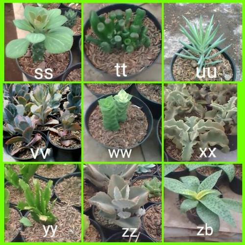 Foto Produk cactus succulent dari cactussucculent