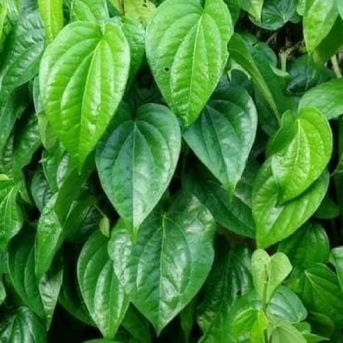 Foto Produk Daun sirih hijau herbal / obat herbal dari BudiGrosir