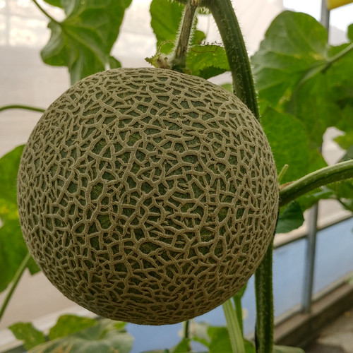 Foto Produk Honey Melon dari FFKG
