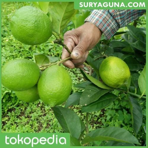 Foto Produk Bibit Jeruk Nipis Berkualitas Super dari SuryaGuna