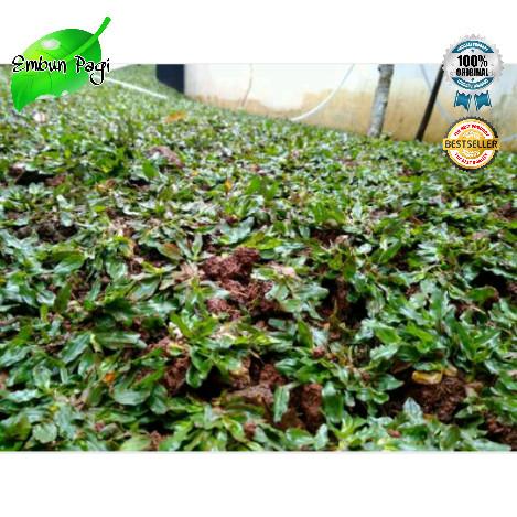 Foto Produk Rumput Gajah Mini 1x1 Meter Murah dari Embun Pagi (taman hias)