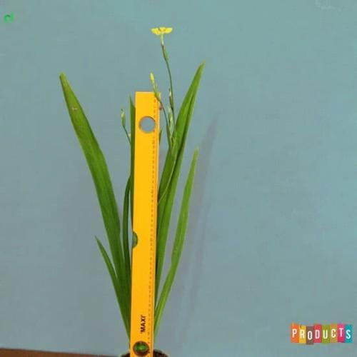 Foto Produk Tanaman airis bunga kuning / iris pseudacorus dari ibad garden