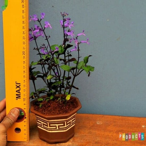 Foto Produk Tanaman lavender monic purple / Mona Lavender Plectranthus dari ibad garden