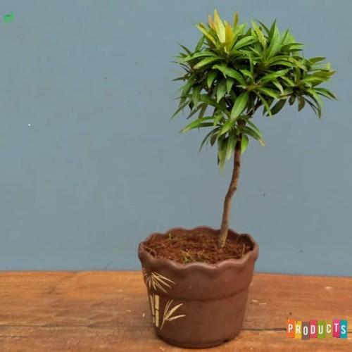 Foto Produk Tanaman Pucuk merah mini mutasi/langka BAHAN BONSAI dari ibad garden
