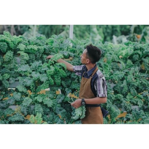 Foto Produk Termurah Sayur Curly Kale Hidroponik 100 gr - FRESH dr Kebun Sendiri dari Kebuni Community Market