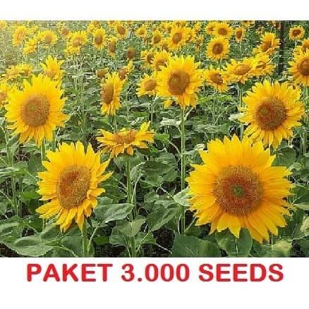 Foto Produk 3000 Seeds Biji Benih Bibit Bunga Matahari Sunflower Grey Stripe dari Biji Benih