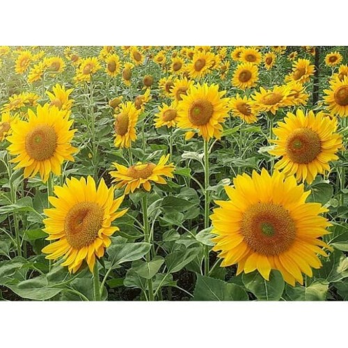 Foto Produk Biji Benih Bibit Bunga Matahari Sunflower Grey Stripe kuaci kwaci dari Biji Benih