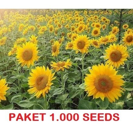 Foto Produk 1000 Seeds Biji Benih Bibit Bunga Matahari Sunflower Grey Stripe dari Biji Benih