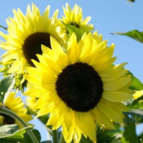 Foto Produk Biji Benih Bibit Sunflower Lemon Bunga Matahari dari Biji Benih