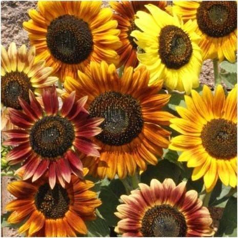 Foto Produk Biji Benih Bibit Sunflower Autumn Beauty Bunga Matahari dari Biji Benih