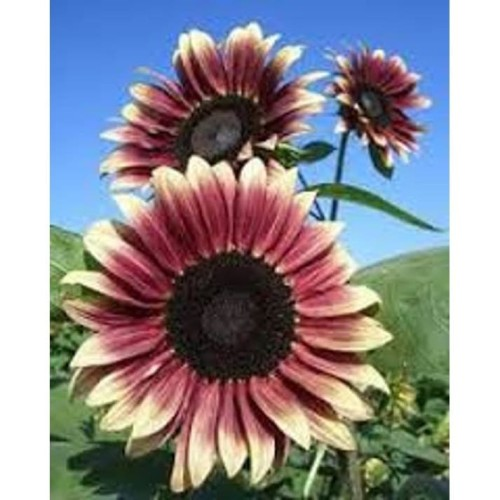 Foto Produk Biji Benih Bibit Sunflower Ruby Red Bunga Matahari dari Biji Benih
