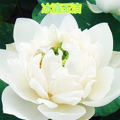 "Foto Produk Benih Biji Bibit Teratai ""Crystal Jade"" Lotus Nelumbo nucifera dari Biji Benih"