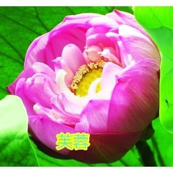 "Foto Produk Benih Biji Bibit Teratai ""Pink Fuschia"" Lotus Nelumbo nucifera dari Biji Benih"