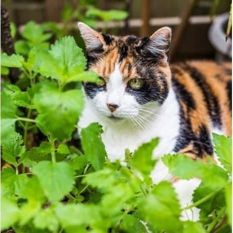 Foto Produk 400 Biji Benih Bibit Catnip Nepeta cataria Kucing Rumput Catmint dari Biji Benih