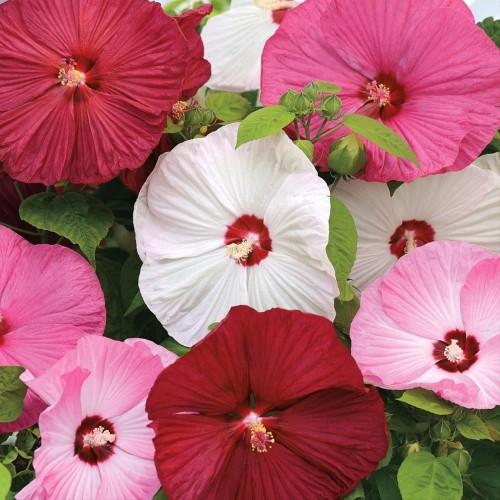 Foto Produk Biji Benih Bibit Hibiscus Mix Rosemallow Kembang Sepatu Import dari Biji Benih