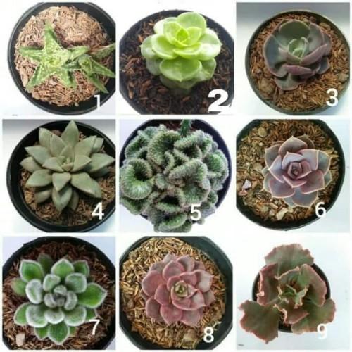 Foto Produk tanaman hias bunga kaktus dan sekulen - Pot Hitam dari KaktusBagus