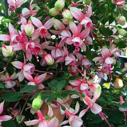 Foto Produk Tanaman hias gantung anting bunga merah putih IMPORT dari ibad garden