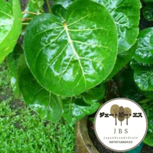 Foto Produk daun mangkokan dari japanbrandedsale