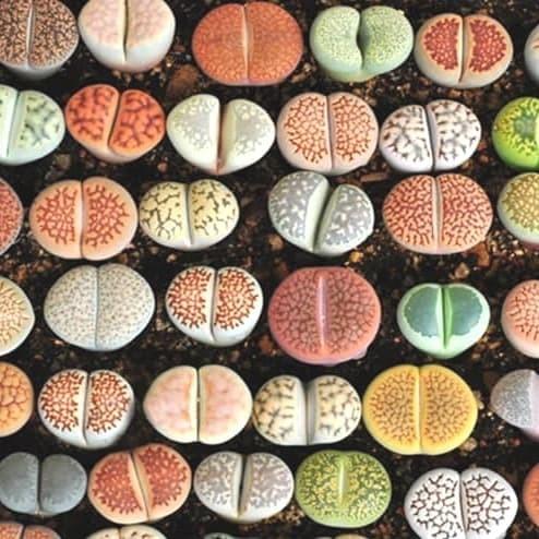 Foto Produk Biji Benih Bibit Lithops Mix (Living Stone) dari Biji Benih