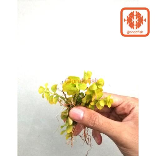 Foto Produk lysimachia tanaman aquascape dari ONDOFISH