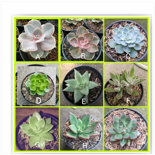 Foto Produk kaktus sukulen dari cactussucculent