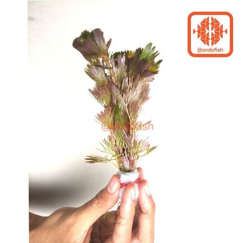 Foto Produk Cabomba Merah (Tanaman Hias / Aquascape) dari ONDOFISH
